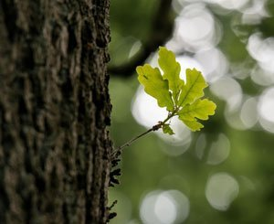 Toronto mobilizes to save an oak tree older than Canada