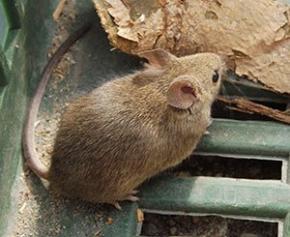 Les rats des villes entrent dans la campagne des municipales
